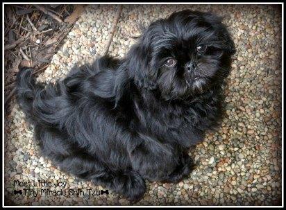 Eight Week Old Shih Tzu Puppy