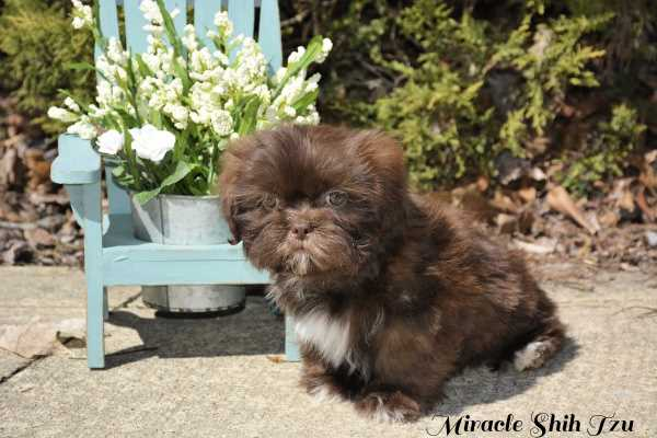 Dark chocolate male Shih Tzu Puppy named Doc