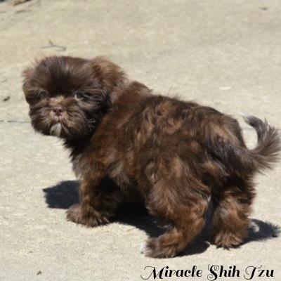 Liver AKC male Shih Tzu puppy