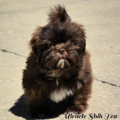 Liver colored male puppy available for sale