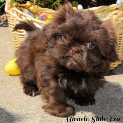 Male Shih Tzu puppy for sale in NE Ohio
