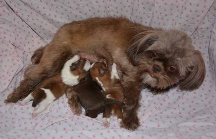 Liver (Chocolate colored) Shih Tzu Adult Dog and her three puppies.