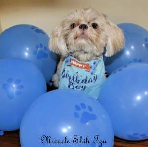 A Shih Tzu Dog surrounded by blue dog balloons.