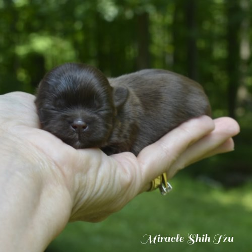 Chocolate brown, tiny Shih Tzu male