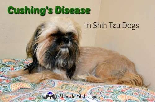 Cushing's Disease in Shih Tzu Dogs