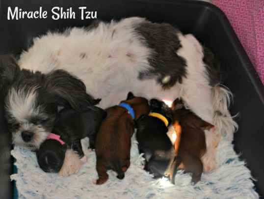 Dana's litter of four Shih Tzu Puppies