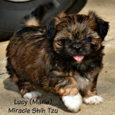 Female Shih Tzu Puppy from a Previous Litter
