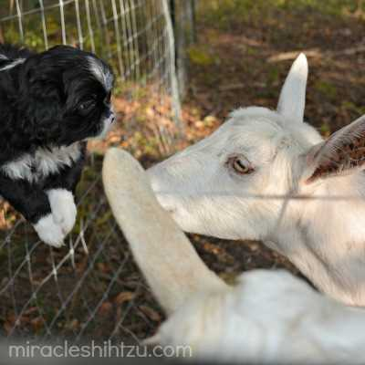 This male Shih Tzu puppy is visiting some goats.