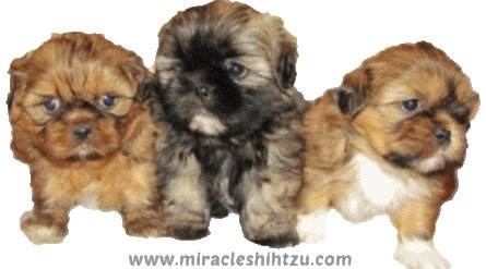 Three Shih Tzu puppies from the same litter.