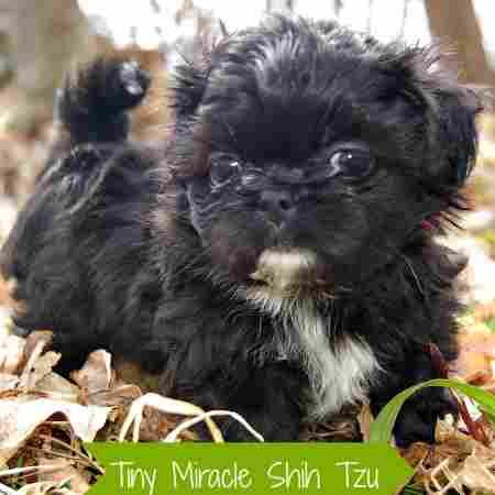 Black Shih Tzu puppy looking directly into the camera.