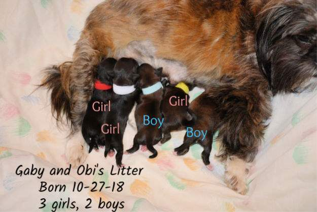 Gabby's Litter of five Shih Tzu Puppies, 2 boys and 3 girls, born October 27, 2018.