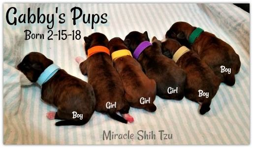 Brindle Shih Tzu mom had six babies on February 15, 2017