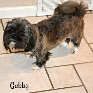 Gabby is a red brindle Shih Tzu Mom weighing 10 pounds.
