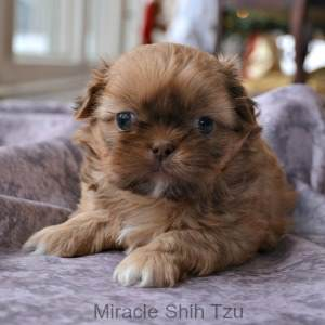 Breed Your Shih Tzu because You Want Another Puppy Just like the One You Have Now