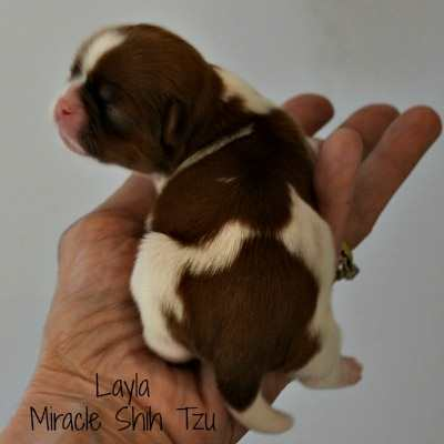 Shih Tzu Puppies for Sale near Cleveland, Ohio:  Layla, Female