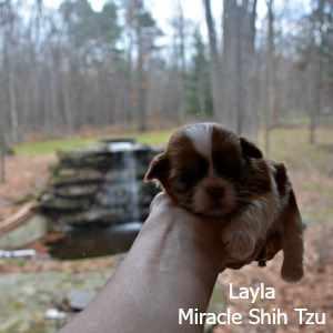 Shih Tzu Puppies near Cleveland Ohio