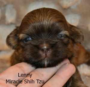 Male Shih Tzu Puppy