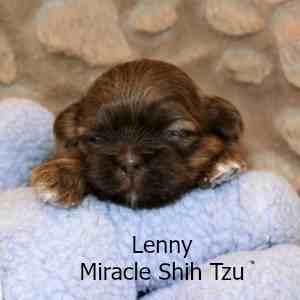 Lenny Shih Tzu Puppy