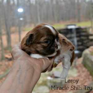 Shih Tzu Male Puppy Dog