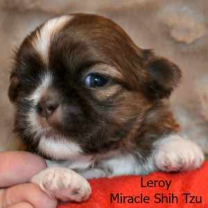 Shih Tzu:  Leroy, Male Shih Tzu Puppy