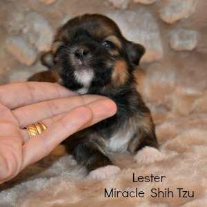 Male Shih Tzu Newborn