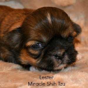 3 Day old Shih Tzu Male