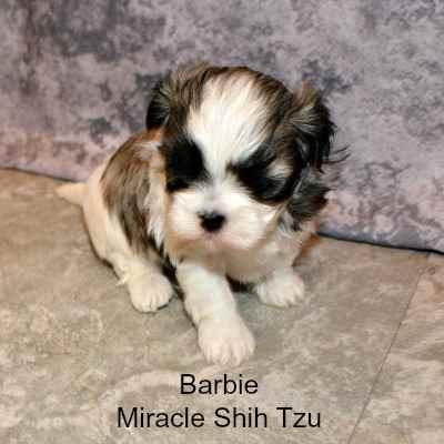 Barbie, Maltese -- Shih Tzu Puppy