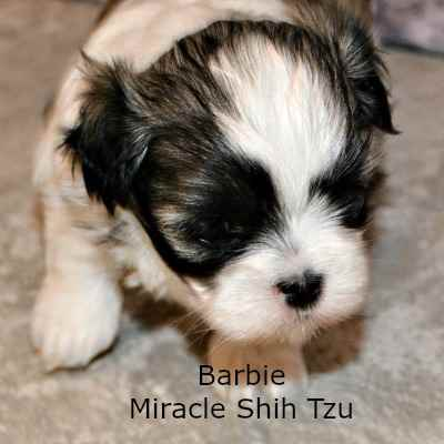 Barbie, a Maltese-Shih Tzu mixed puppy at 4 weeks old.