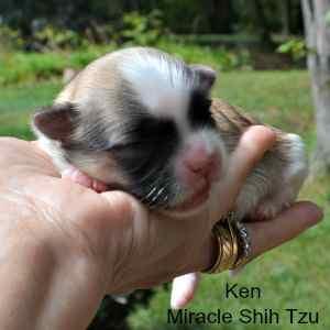Maltese and Shih Tzu Male Puppy
