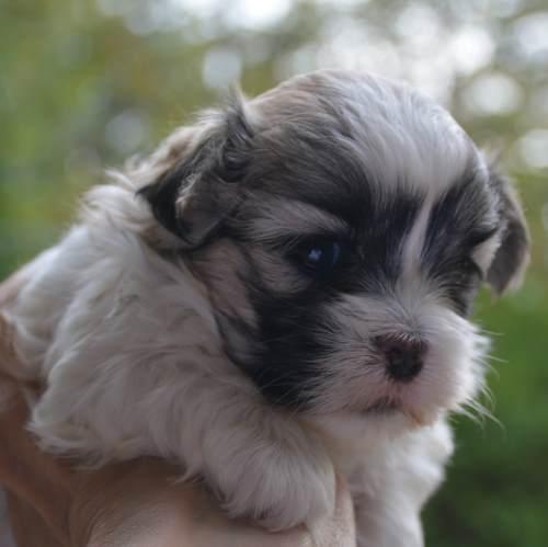 Mal Shi Male Puppy