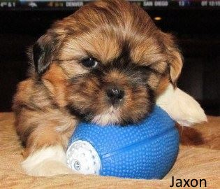 Gold/Red Shih Tzu Puppy with a black mask