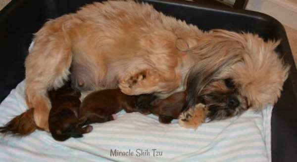 Red-Gold Shih Tzu Adult female with a black mask and her litter of 3 puppies.
