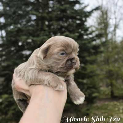 A two-week liver colored Shih Tzu is being held for a photo.