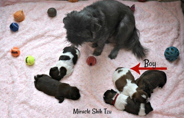 Shih Tzu Litter at One Week Old