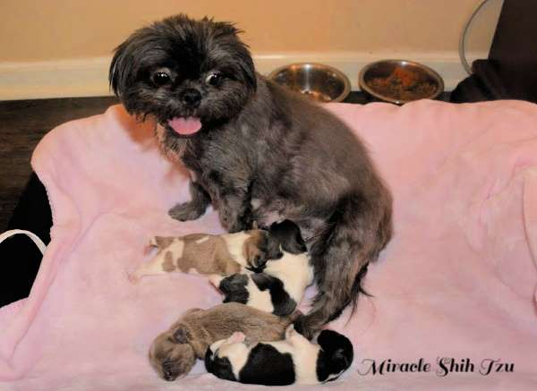 Lucy and her litter of four female puppies.