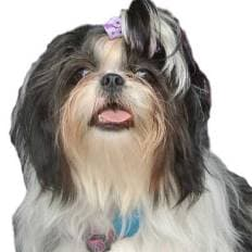 Link to the Shih Tzu Mothers' Page