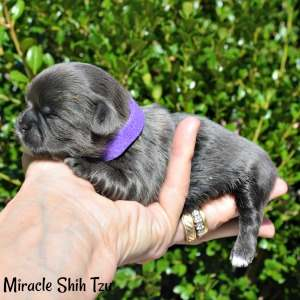 Available blue Shih Tzu female puppy in Ohio
