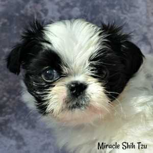 Miracle Shih Tzu, Previous Black and White Puppy