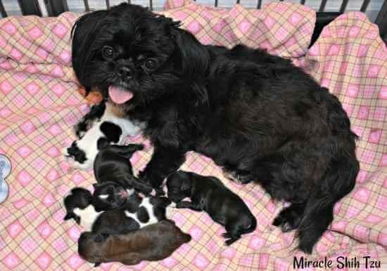 Meiling's litter of five Shih Tzu puppies.