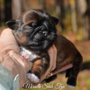 Red brindle male puppy at 1 week old