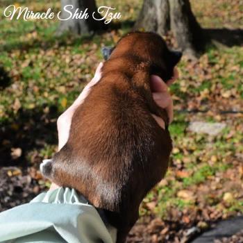 Red brindle male Shih Tzu puppy at 1 week old