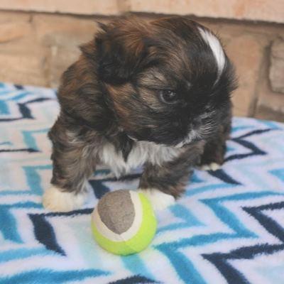 Brindle male Shih Tzu puppy at one-week-old