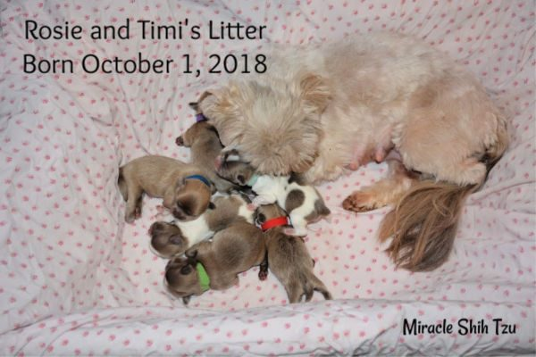 Rosie's litter of six Shih Tzu puppies, one girl and 5 boys born October 1, 2018