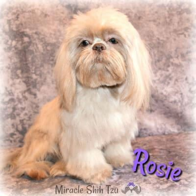 Lavender Shih Tzu girl named Rosie