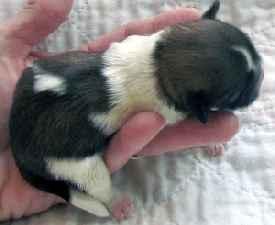 Imperial size newborn Shih Tzu