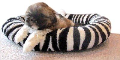 Shih Tzu Puppy in his Dog Bed