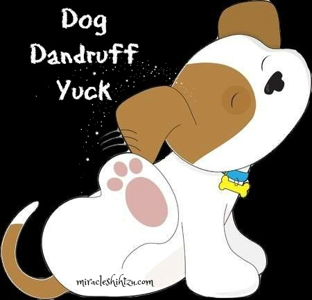 Dog Dandruff often causes much itching and misery in Shih Tzu dogs.