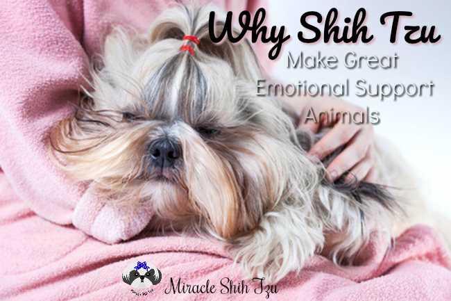 Why Shih Tzu Make Great Emotional Support Animals