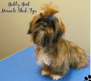 Brindle Colored Shih Tzu named Gabby