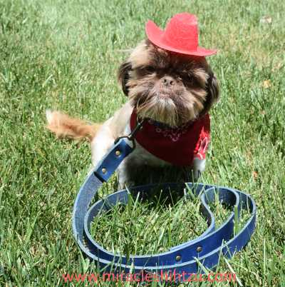 Doc Holliday, Liver Shih Tzu male is wearing an iQLeather Dog Collar